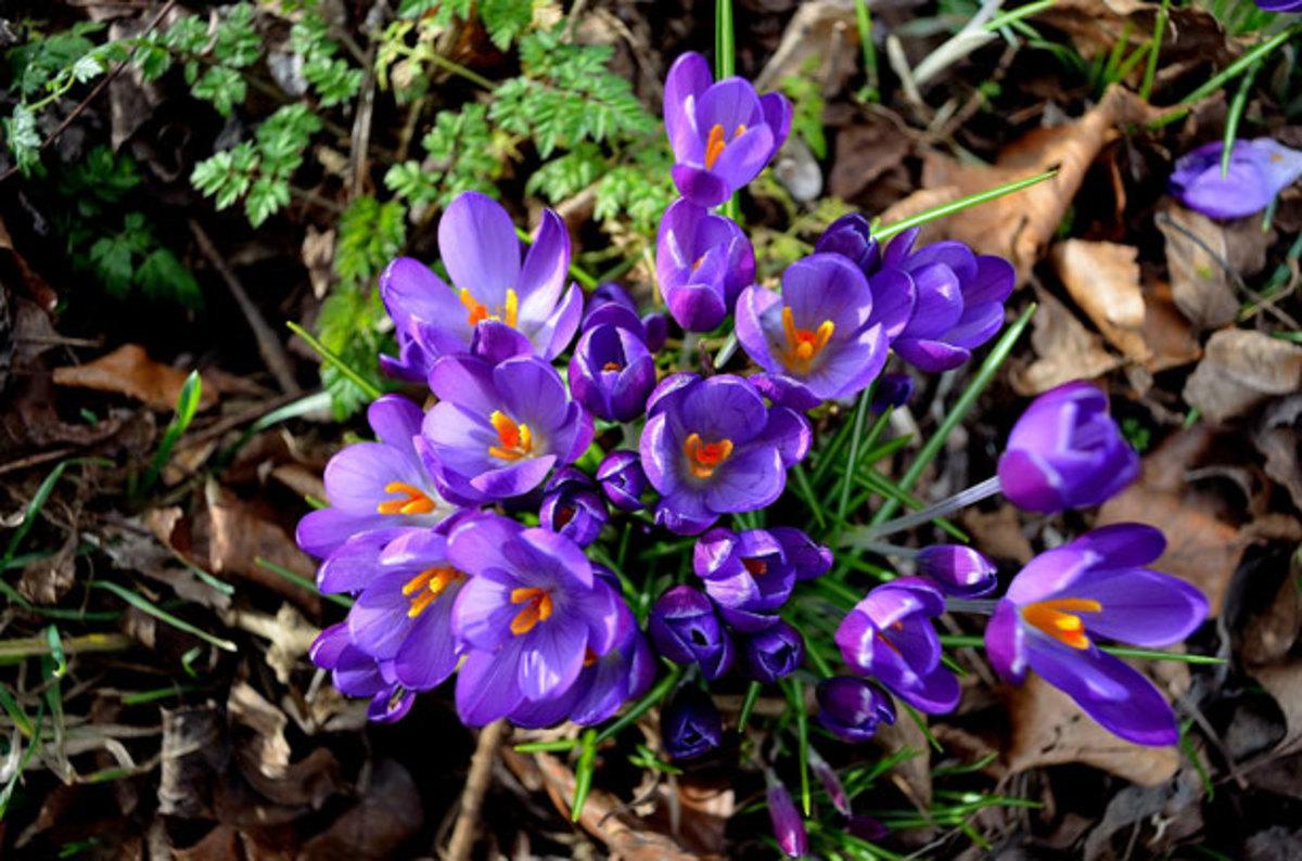 Beautiful purple crocus.