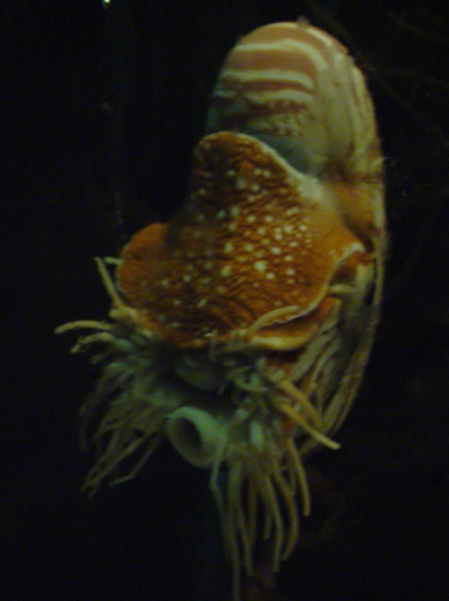 This frontal shot shows the nautilus' extended tentacles and hyponome.
