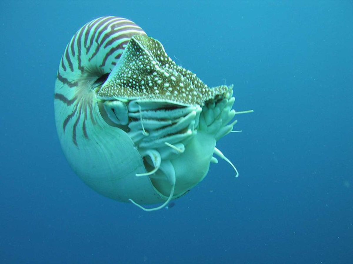 The Nautilus- a creature that has changed little in tens of millions of years.