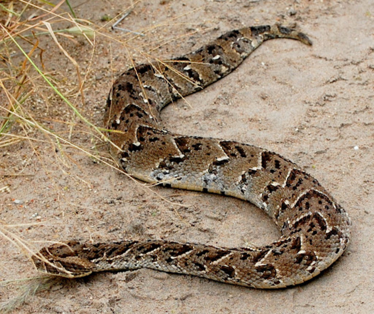 poisonous-venomous-snakes-and-spiders-in-kenya-encountered-whilst-on-holiday-or-vacation