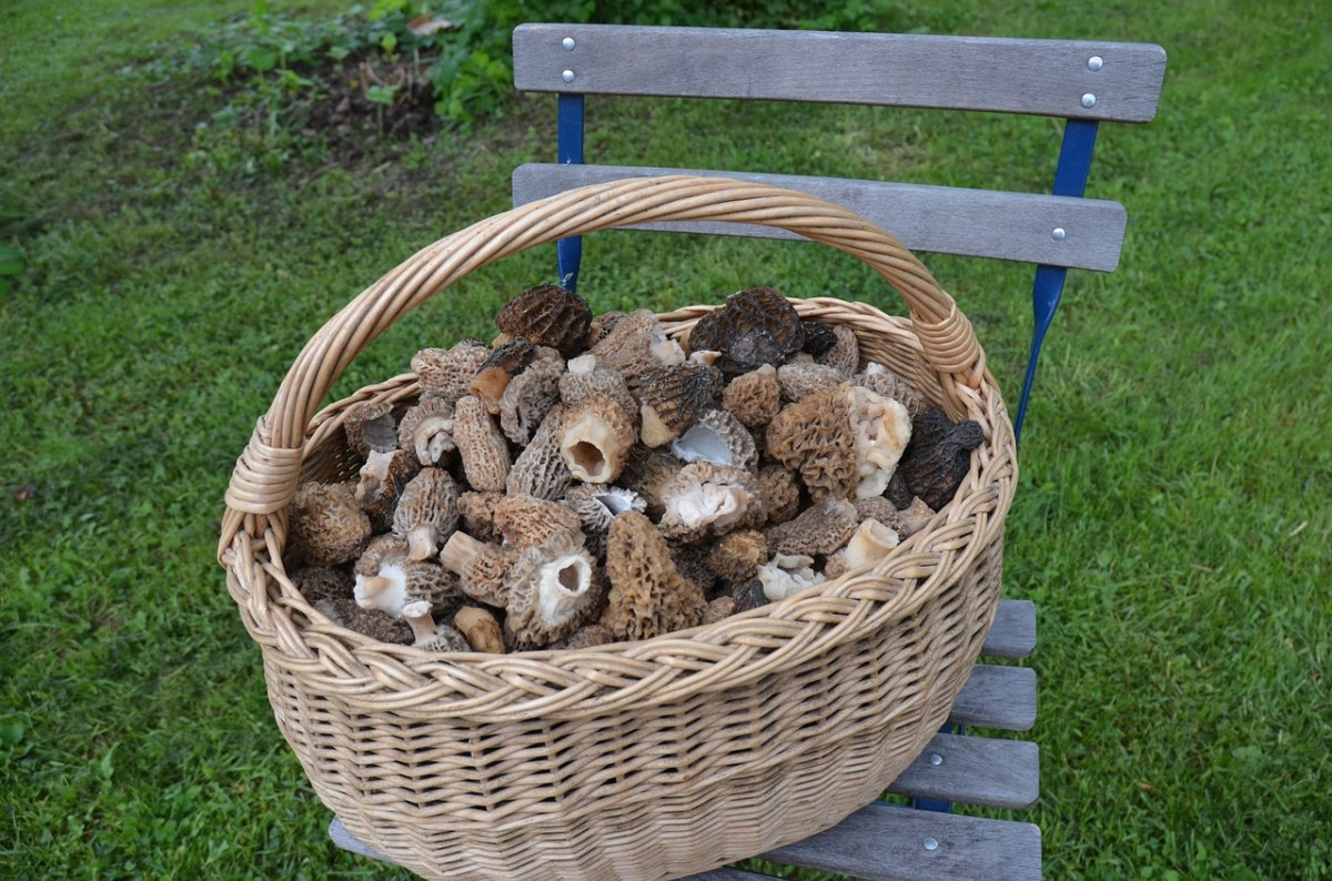 hunting-for-morel-mushrooms