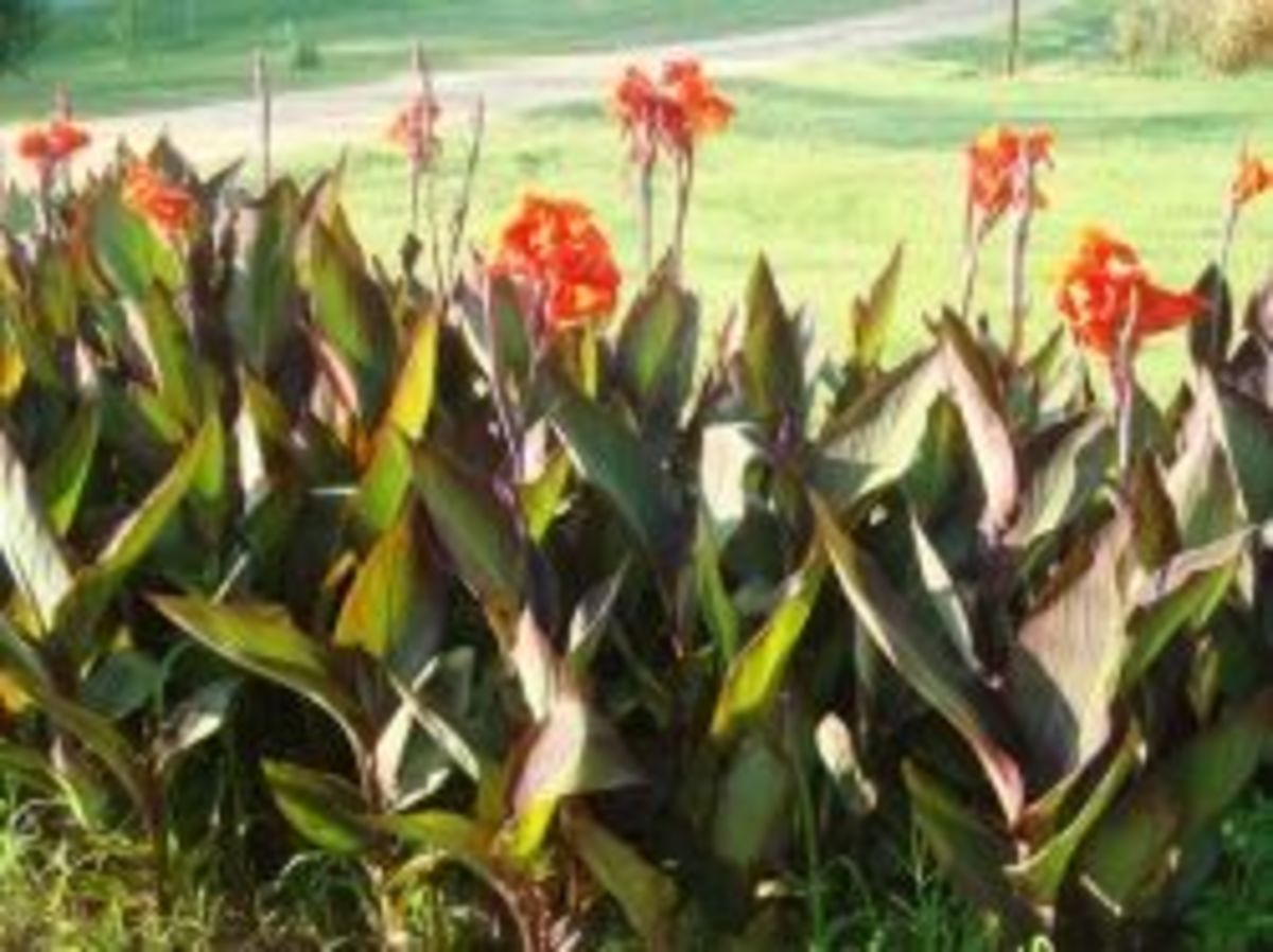 canna lily beds