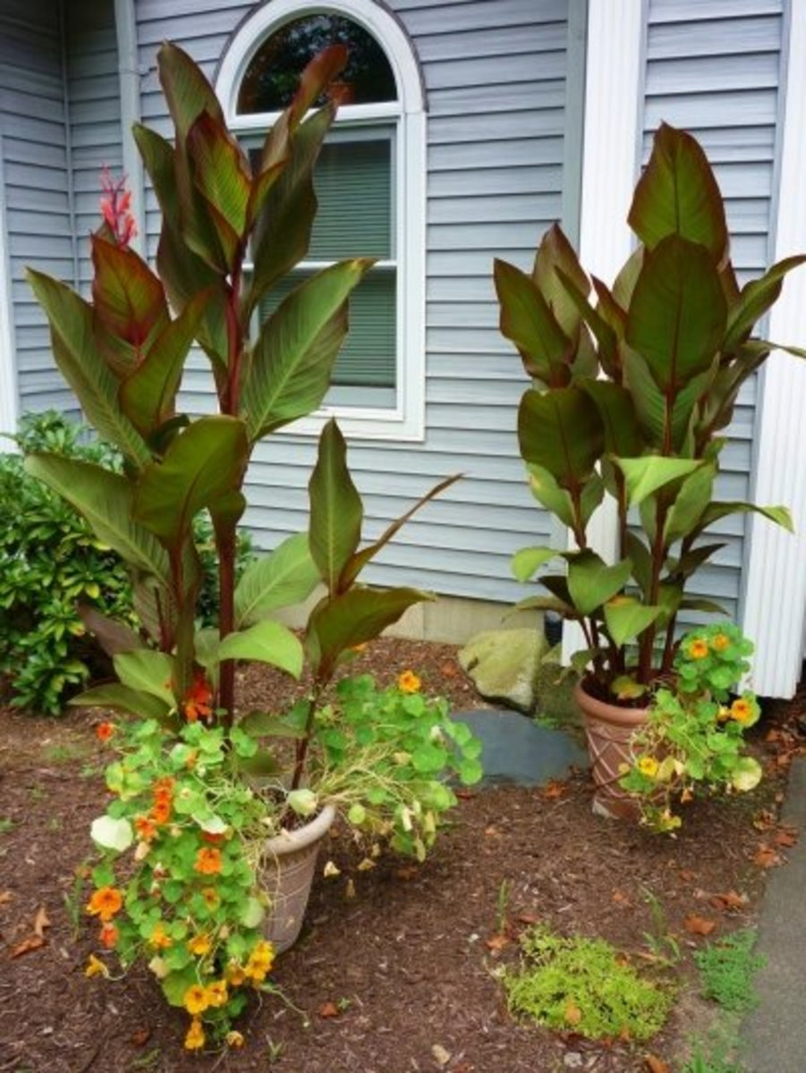Canna Lilies Grow Great in Containers