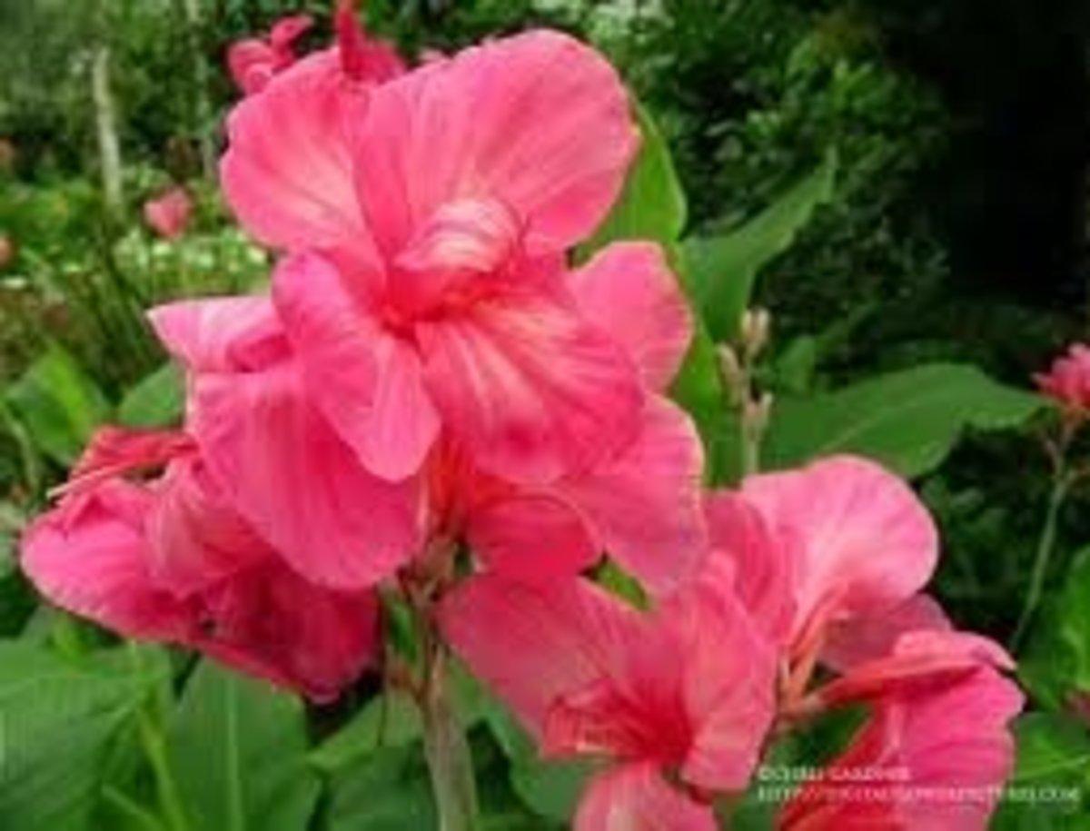 Beautiful Pink Canna Lily