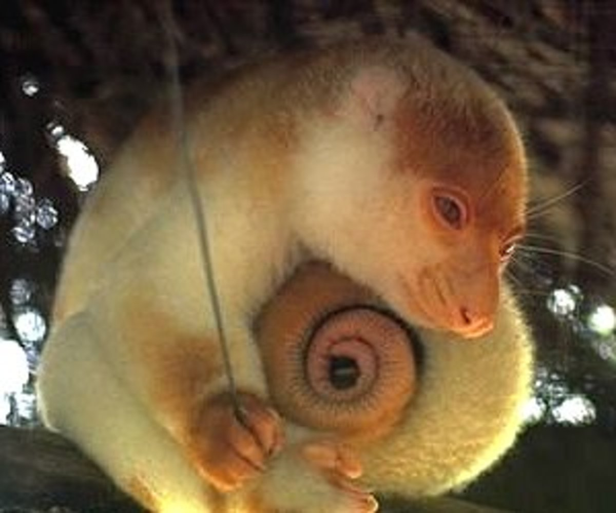 Spotted cuscus, note the prehensile tale