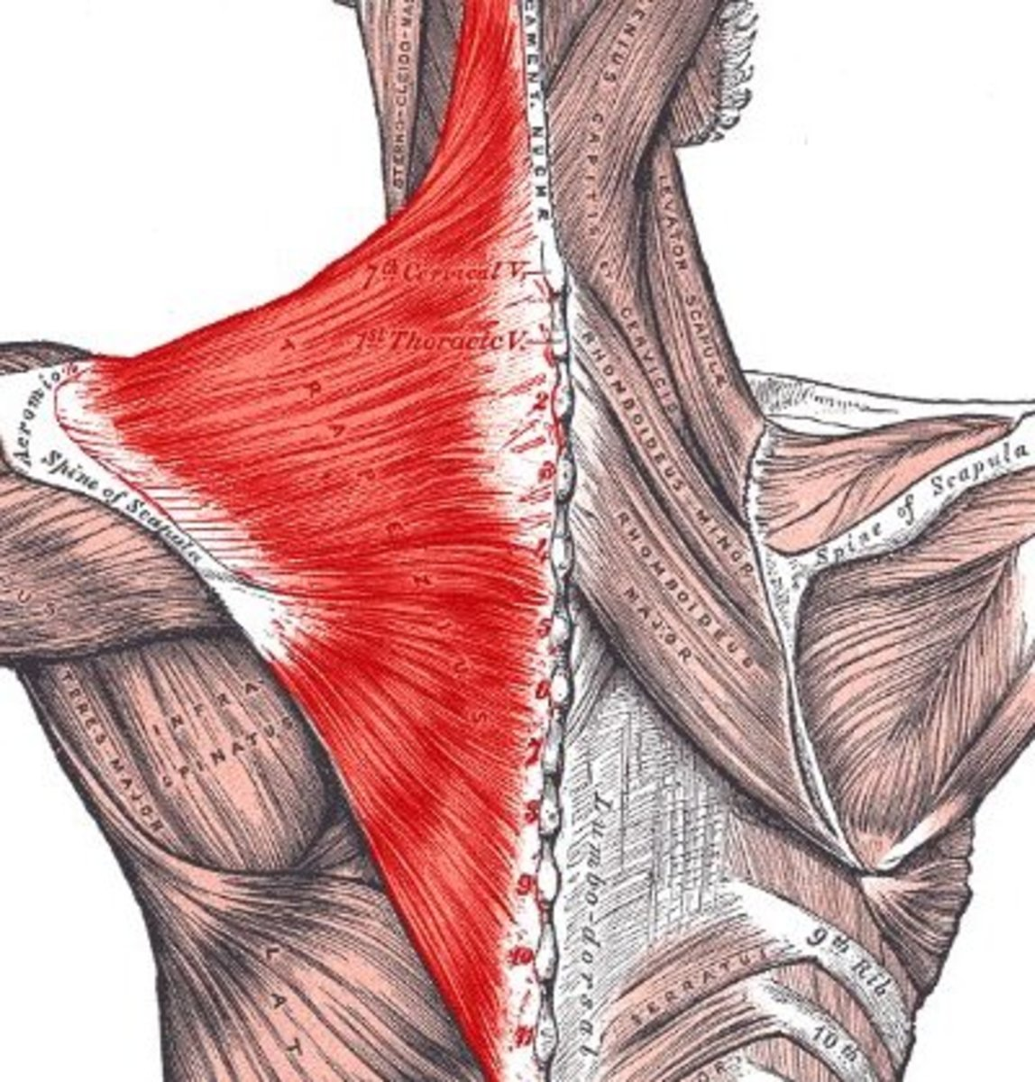For illustration purposes only: The extent of the Trapezius muscle highlighted in red.