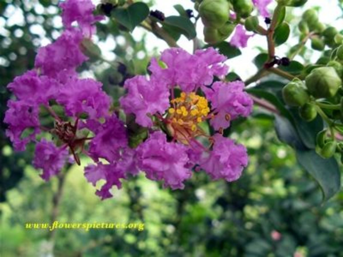 Purple Crape Myrtle Just Beginning to Bloom