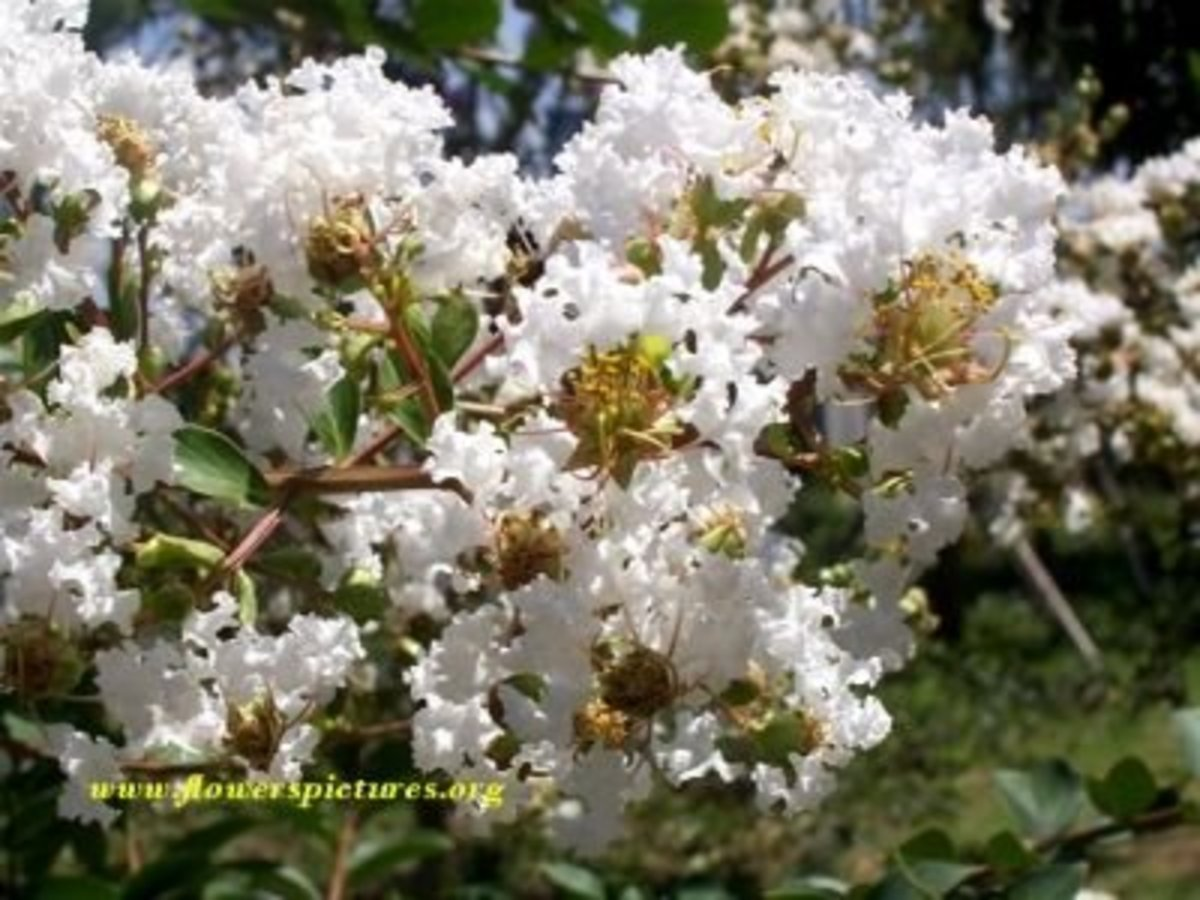 Beautiful White Crape Myrtle