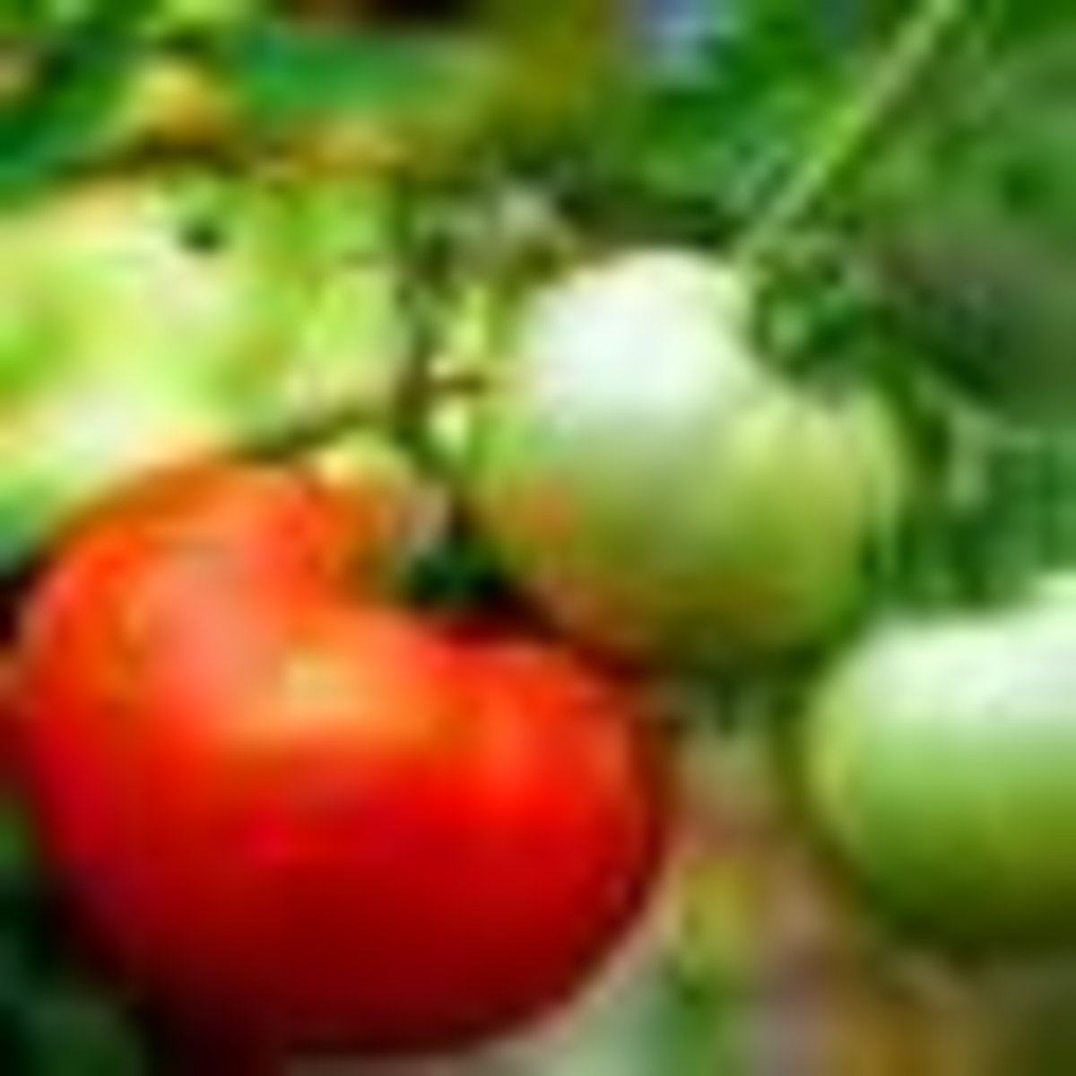 12-tips-for-growing-better-tomatoes