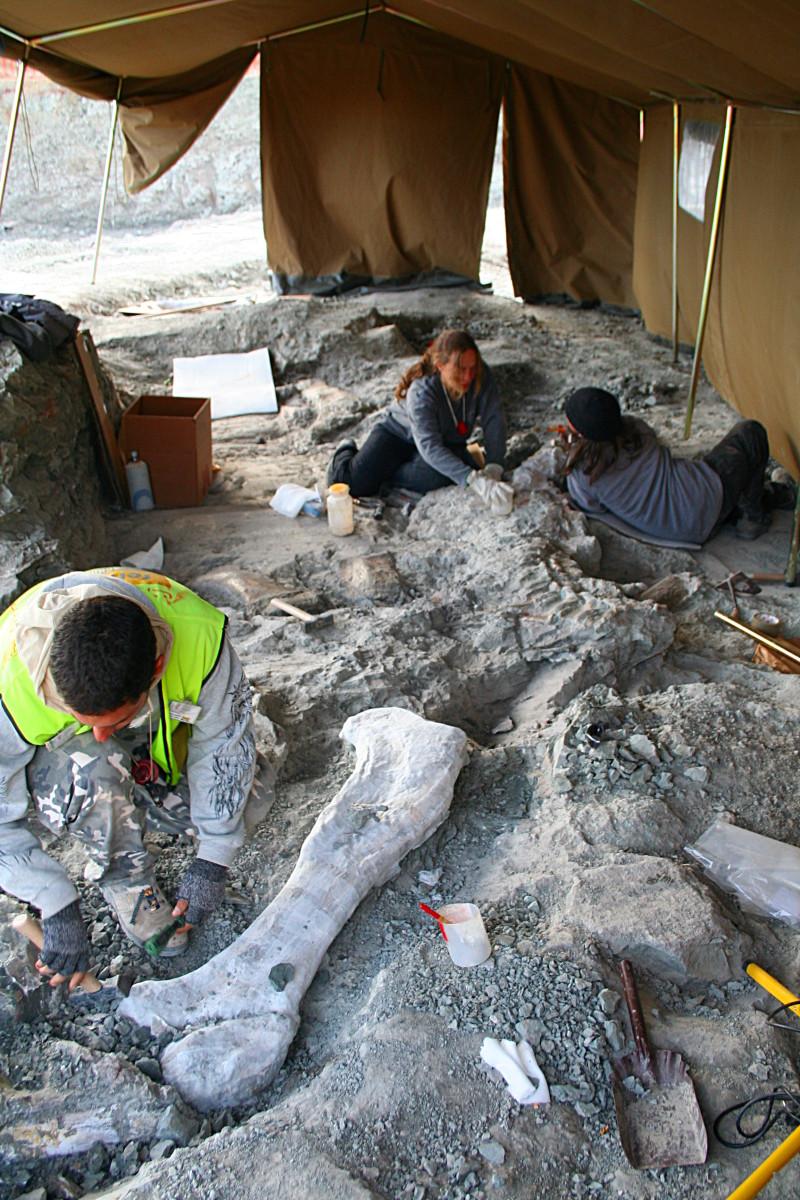 Paleontologists carefully dig at an excavation site, revealing dinosaur bones.