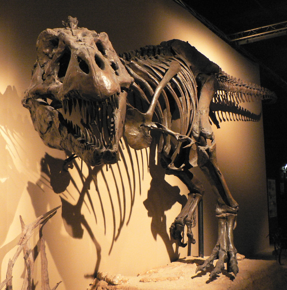 There are many more dinosaurs that exist than we will ever find bones for. Here is a skeleton of a Tyrannosaurus Rex.