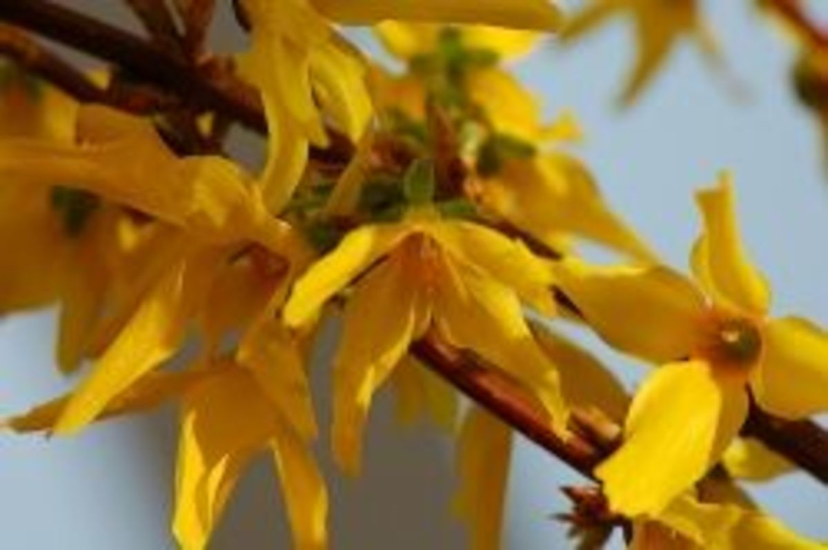 growing forsythias from cuttings