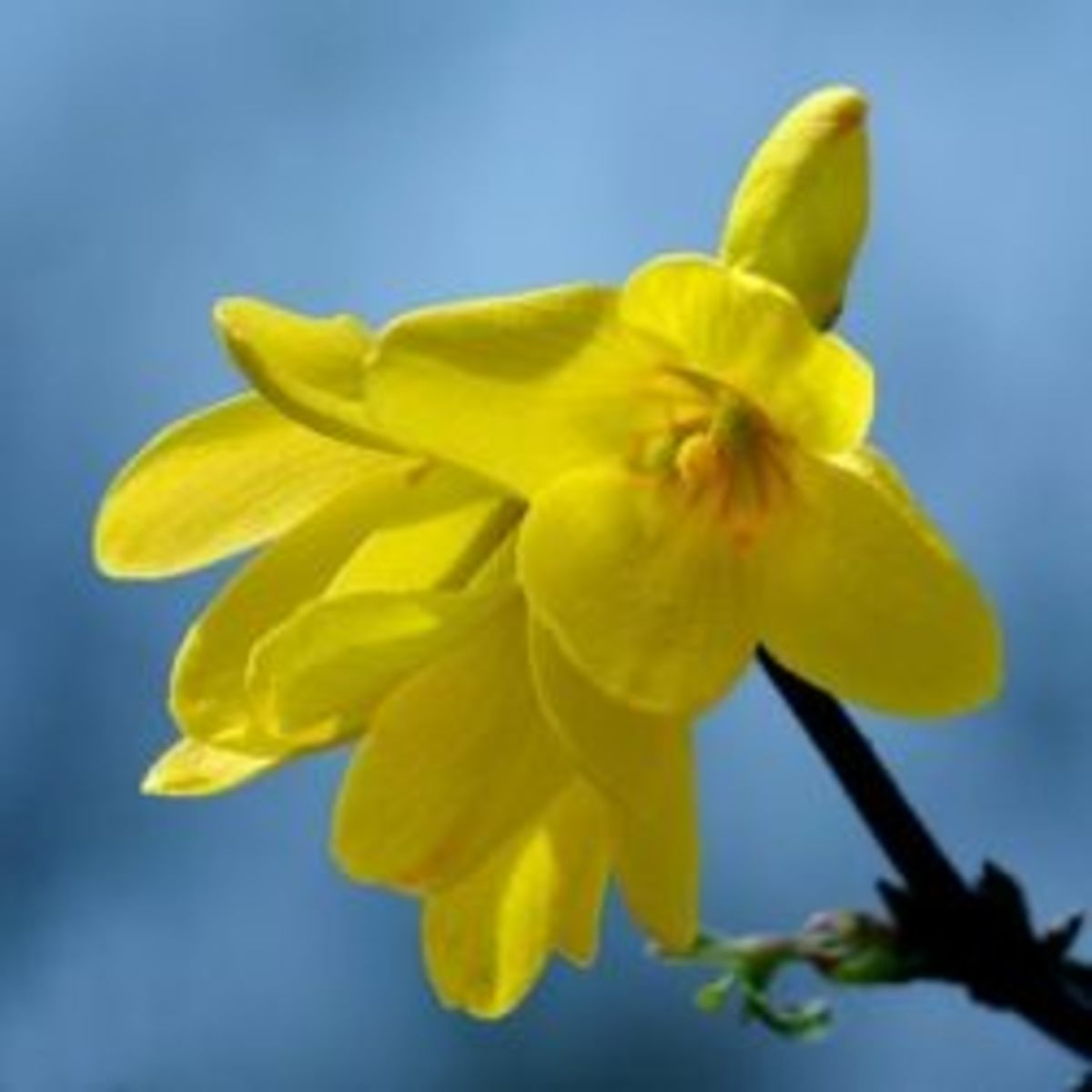 how-to-grow-forsythias-from-cuttings