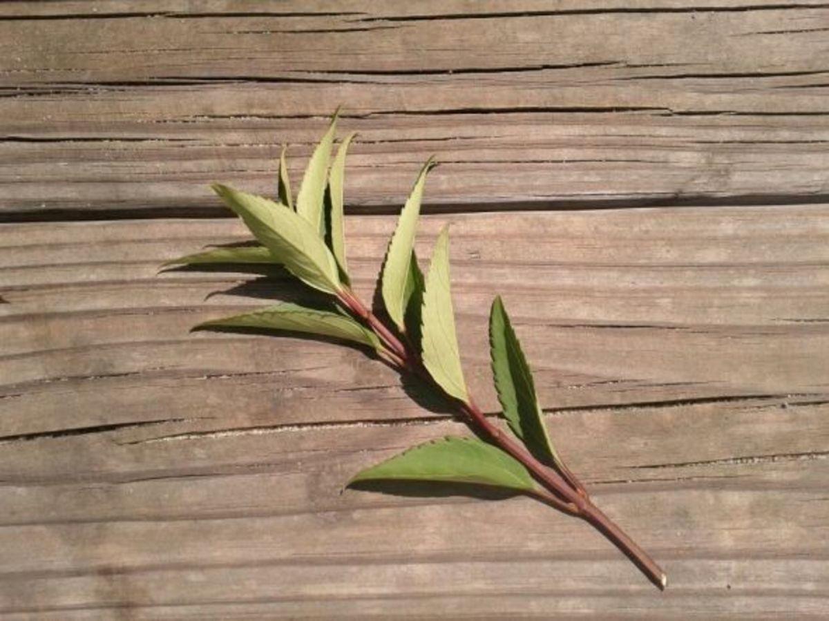forsythia cuttings