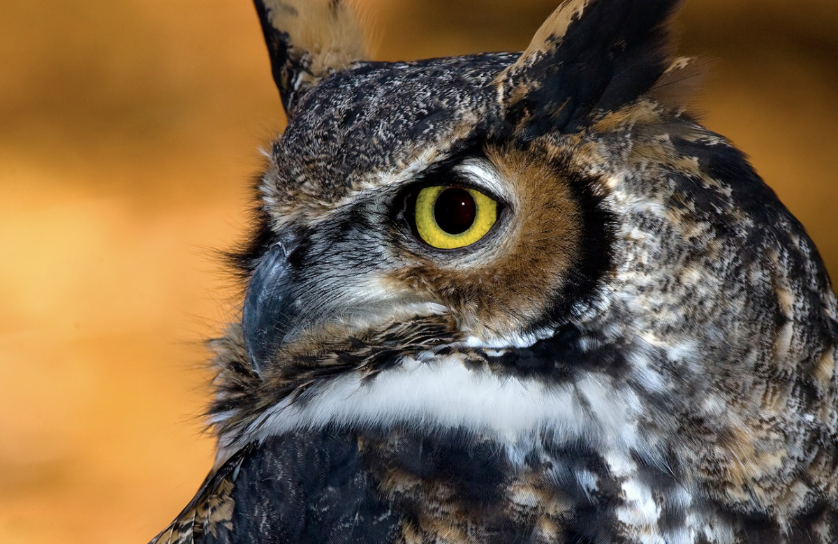 The Great Horned Owl is one of many types of raptors visitors can see up close at the Glen Helen Raptor Center in Yellow Springs, OH.