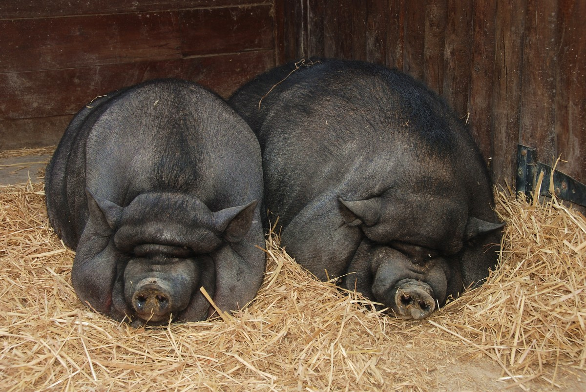 Okay so...these pigs might not be so lean.