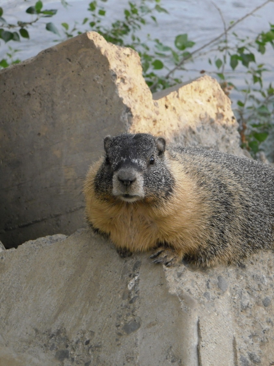 Rock Chuck, or Yellow Bellied Marmot in Kamloops, Canada. They live in family groups with one male and several adult females, as well as juveniles.