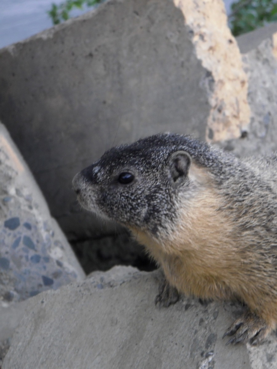 Yellow Bellied Marmot, or Rock Chuck is alert, and the next moment after the picture was taken, he ran under the rocks to the burrow.