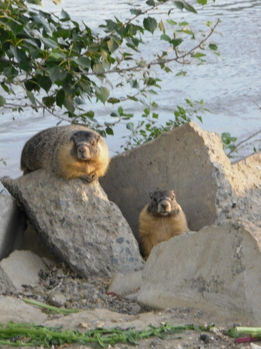 Guarding the pack, two Yellow Bellied Marmots, or Rock Chucks, perch at sunset on stones on the Thompson River bank at Kamloops, British Columbia.