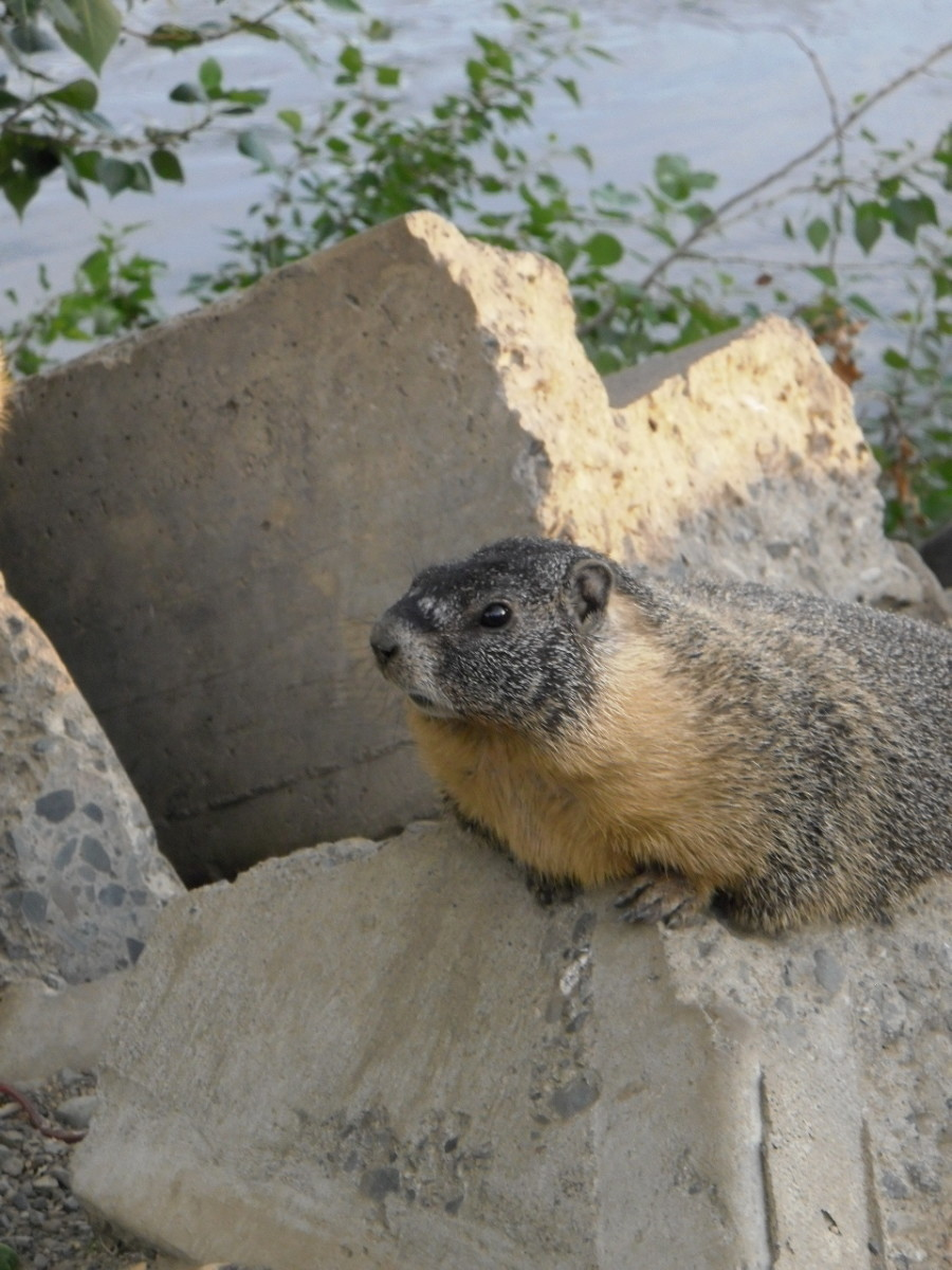 These Rock Chucks, in the Ground Squirrel family, are quite used to people and allow close approach.  Their den is in the riverbank below a pile of broken concrete slabs.