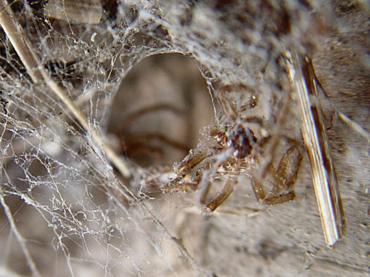Dead spider in web