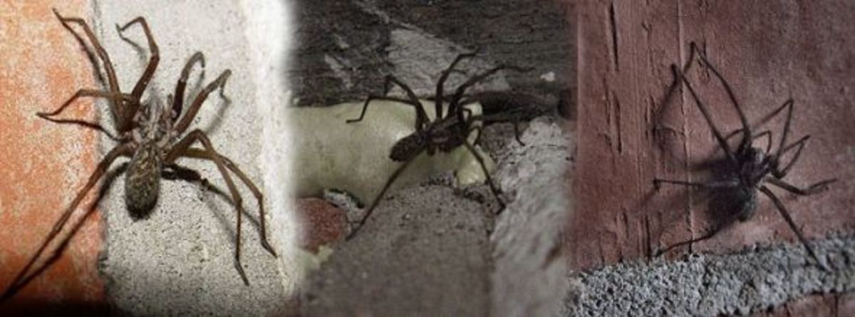 Hairy House Spiders