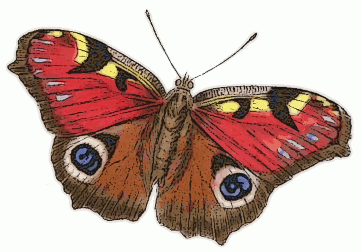 Peacock Butterfly (Inachis io) in Public Domain