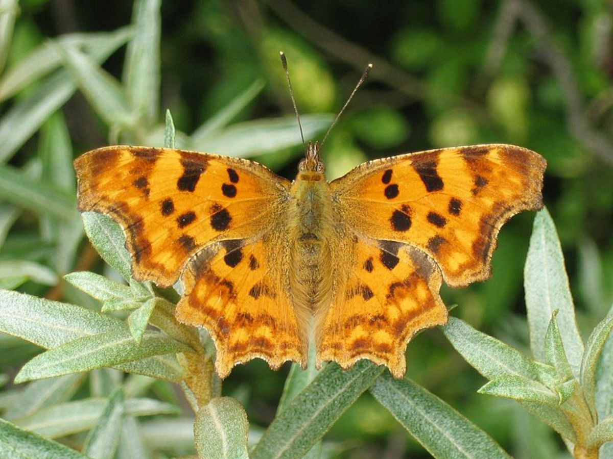 Comma Butterfly in Public Domain