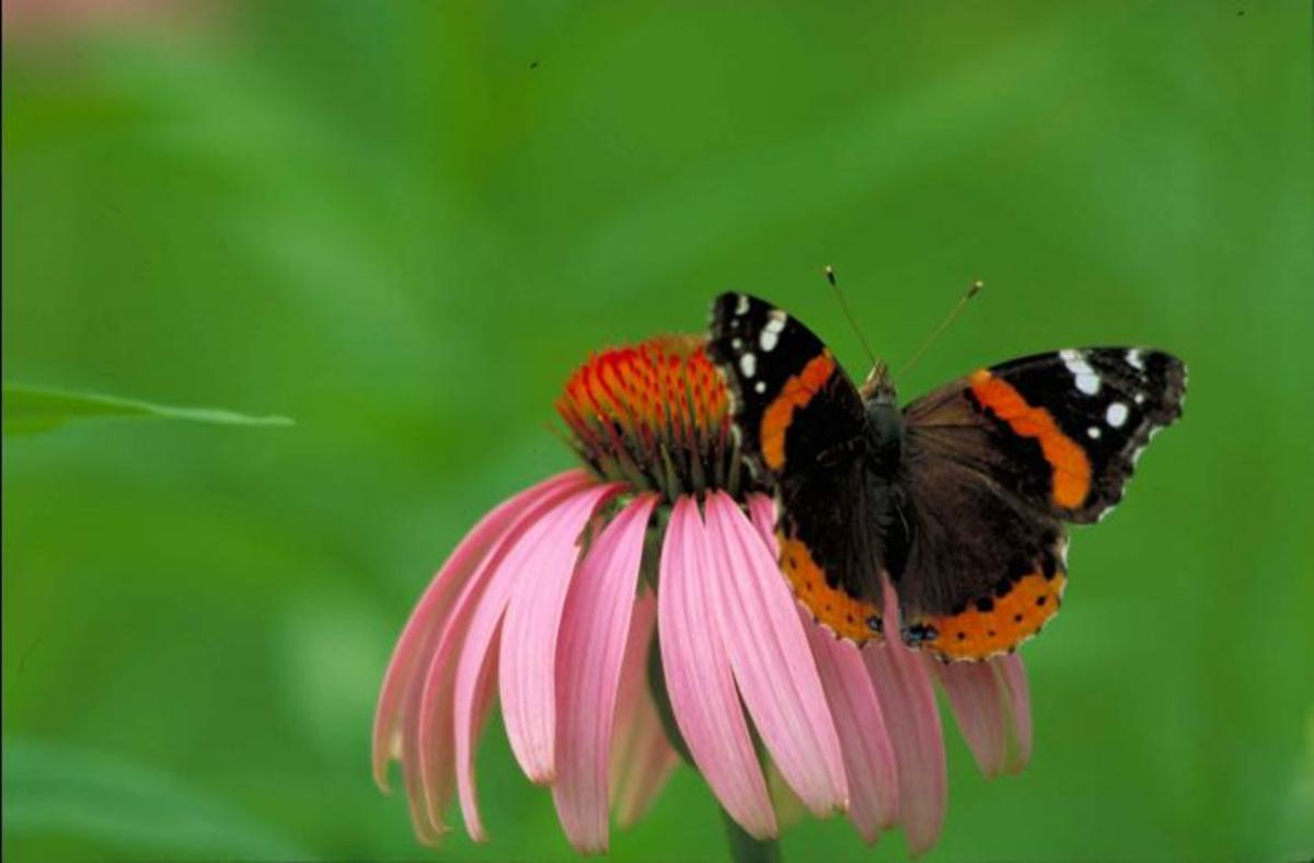 Red Admiral butterfly in Public Domain