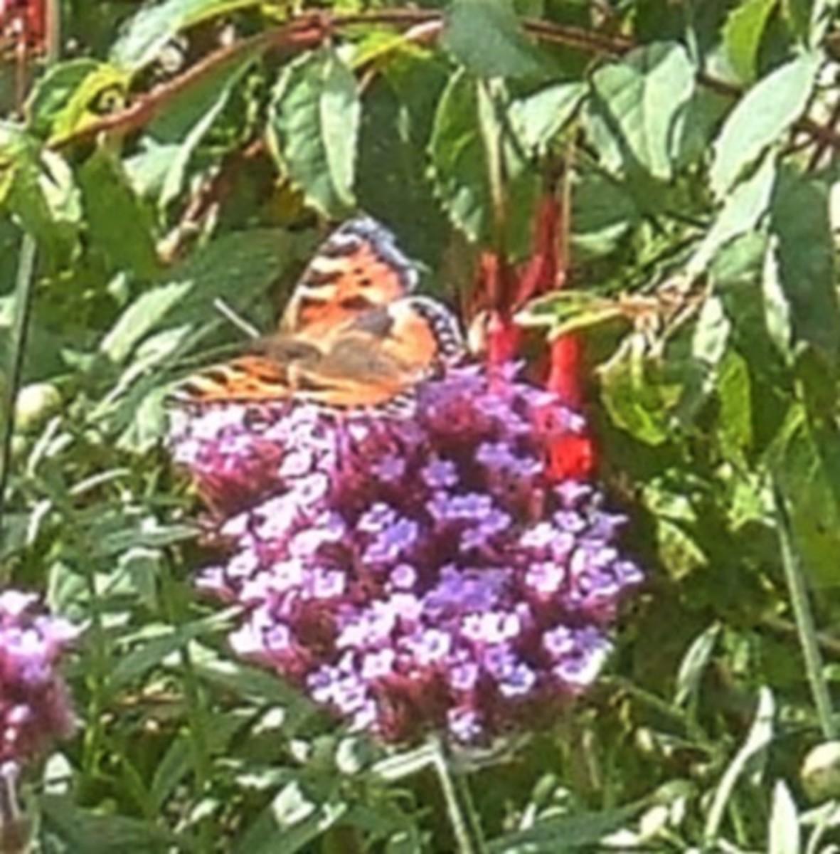 British butterflies that need Stinging Nettles