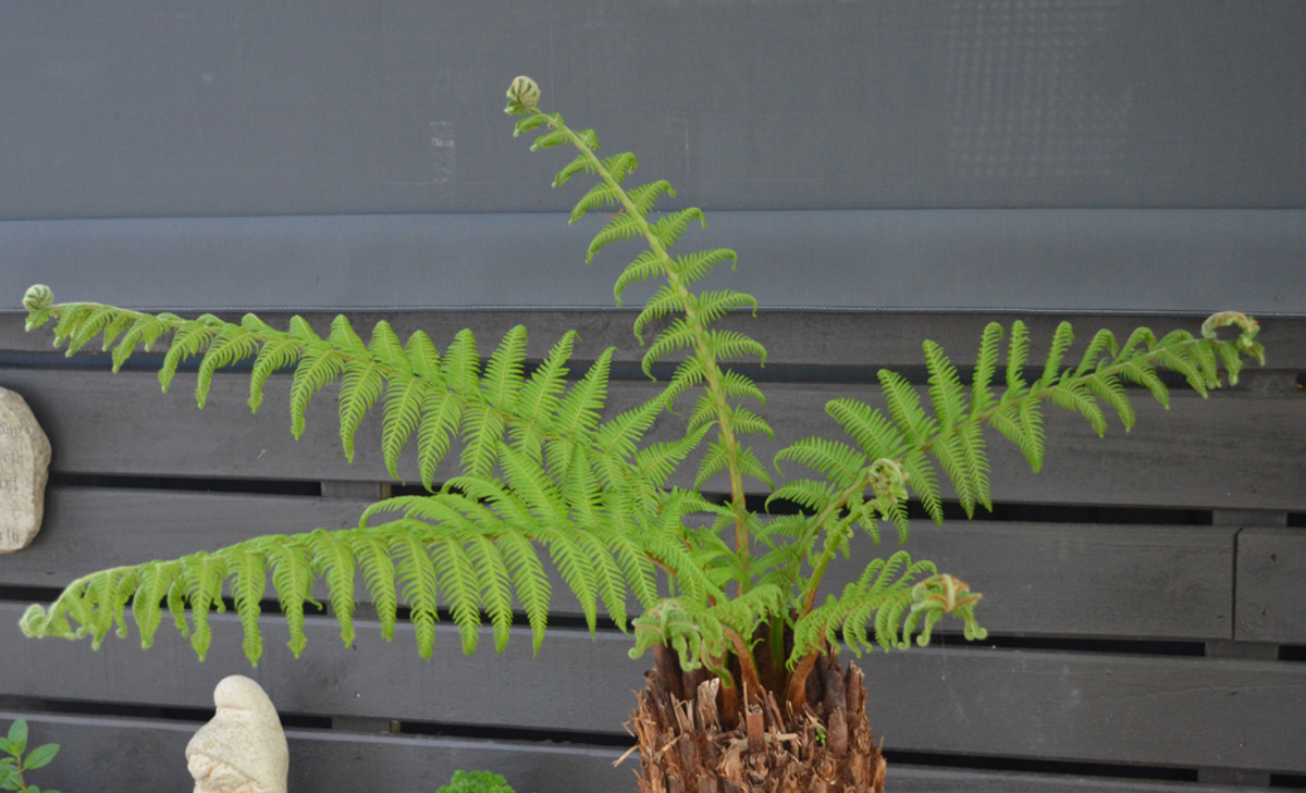 A Tree Fern recently planted in our new garden