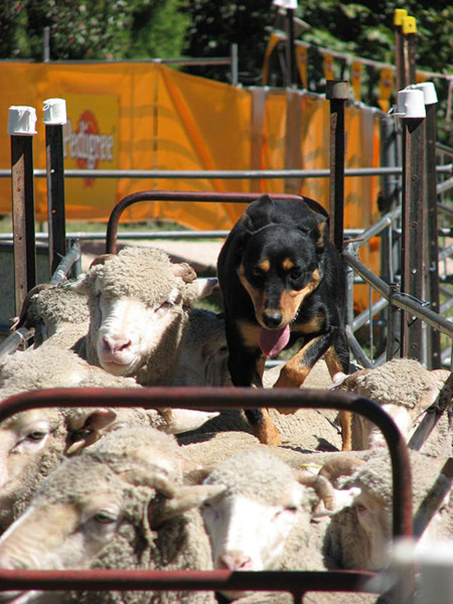 Dogs and sheep were probably the first two wild animals to be fully domesticated by humans.