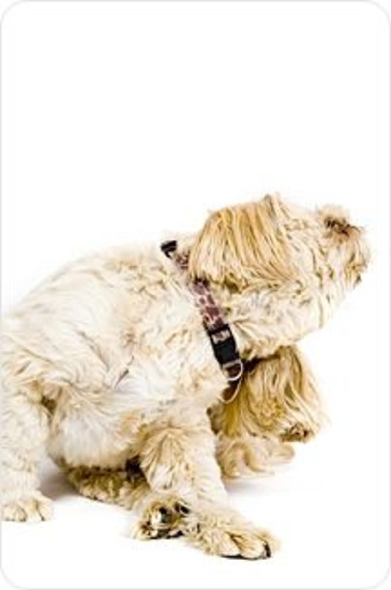 Prevent Fleas In Dogs