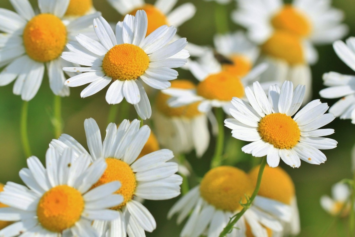 Chamomile is an excellent herb to aid in helping you relax and get a restful night's sleep.