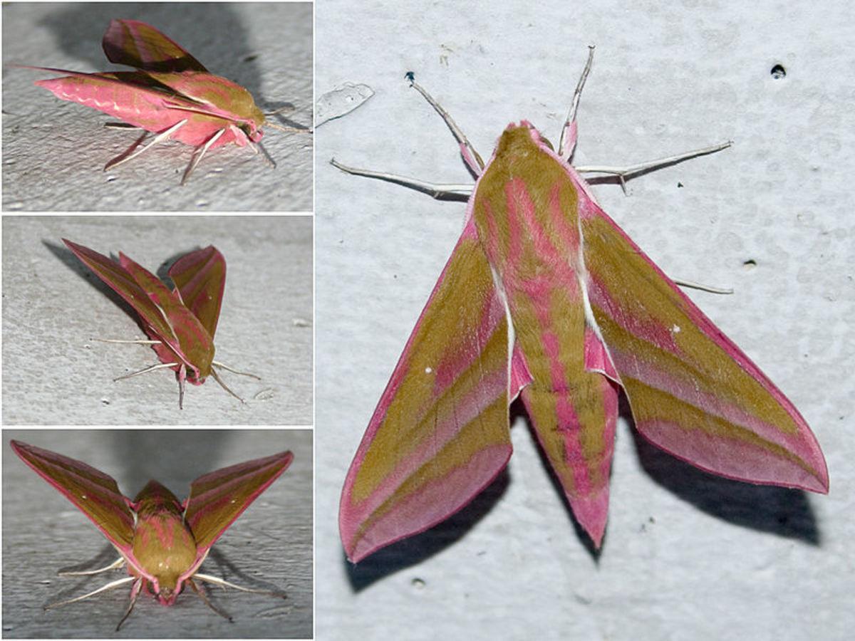 The Elephant Hawk-moth Facts (Deilephila elpenor)