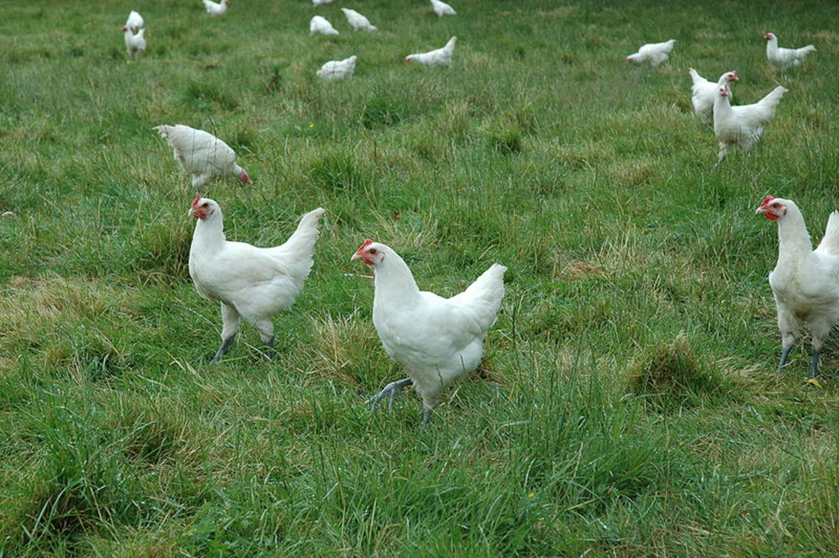Free Range Chickens On A Farm In This Photo