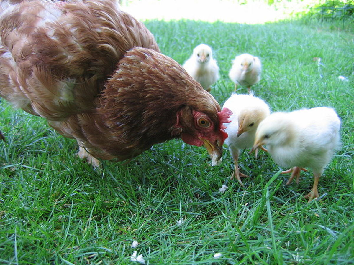 how-to-raise-backyard-chickens-easily