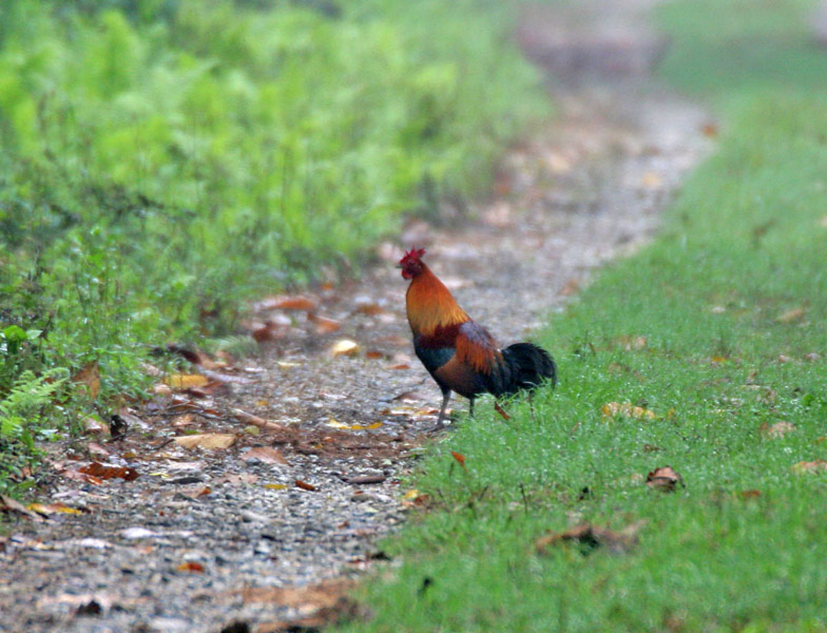 In this photo is a wild red jungle fowl.