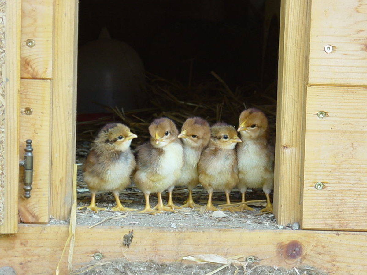 Baby Chicks Before Their First Outing. Aren't They Cute?