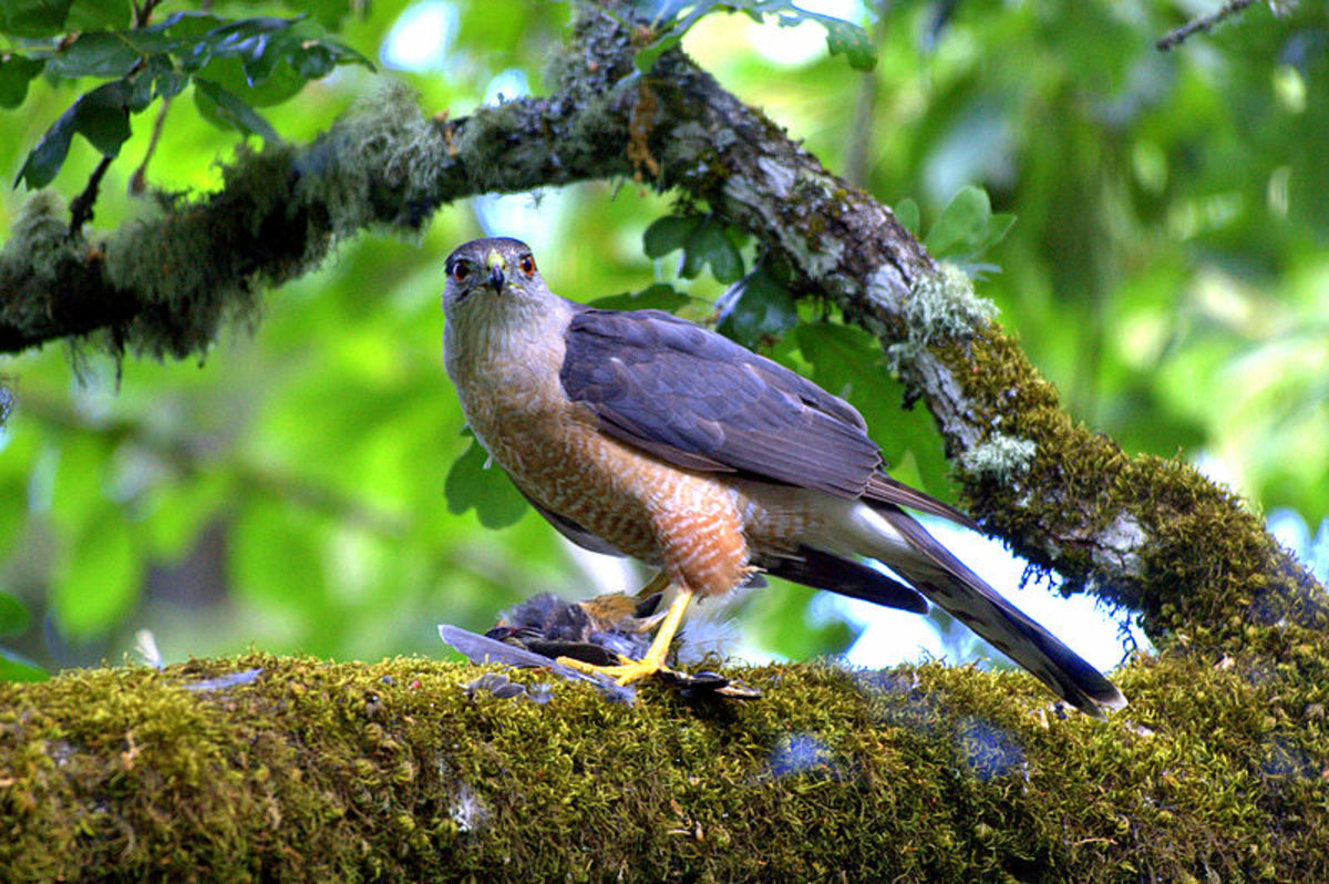 Sharp shinned hawks are commonly called chickenhawks because they prey on chickens and other birds.