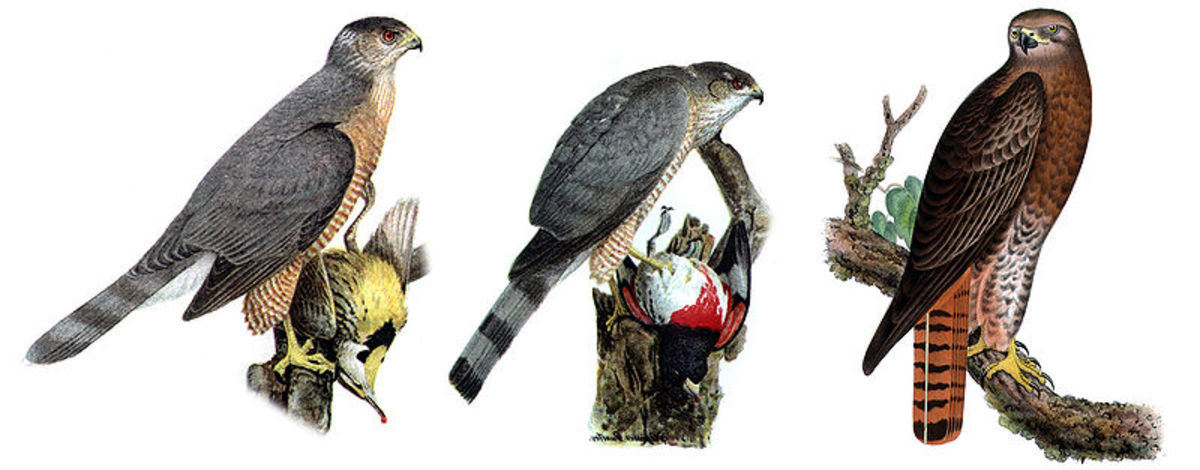 Three hawks are commonly referred to as chickenhawks but any bird killing barnyard animals or pets can be called a chickenhawk.