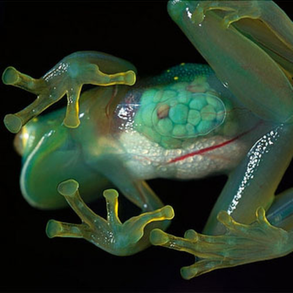 Here you can clearly see the internal organs of a glass frog through its transparent skin.
