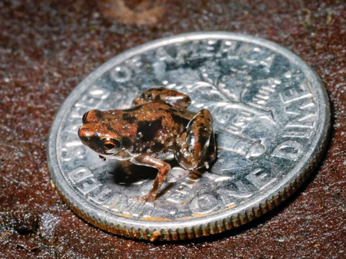 At 7.7mm long the world's smallest frog could literally fit inside an M&M.