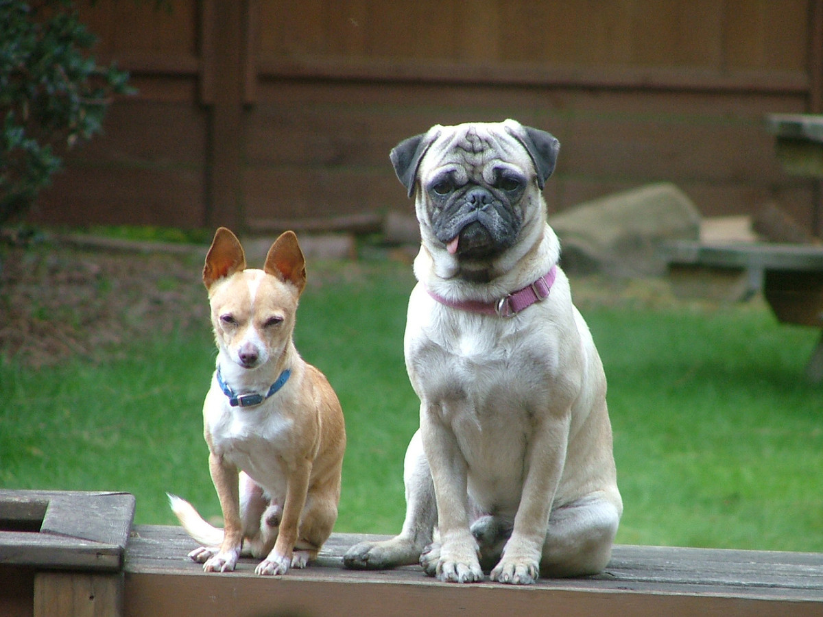 Chihuahua and Pug