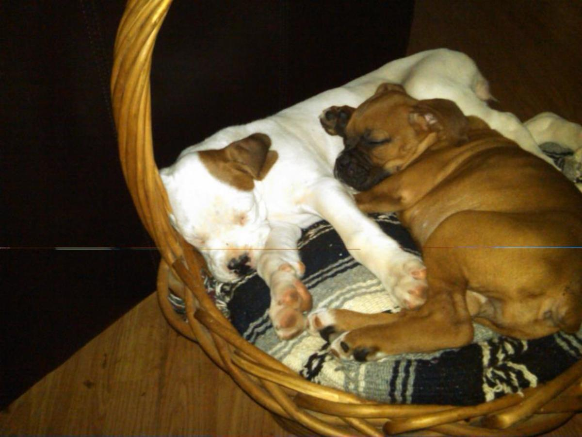 Dog Breeds - Designer Dogs I'd Like to See!
