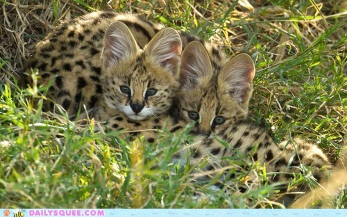 Serval kittens in  the grass.