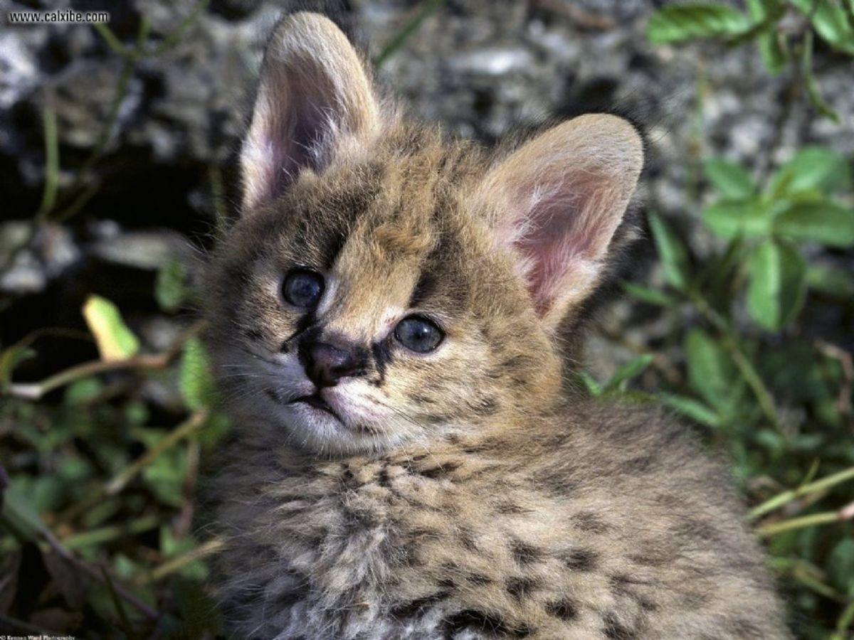 The Serval Cat - An African Wildcat | HubPages