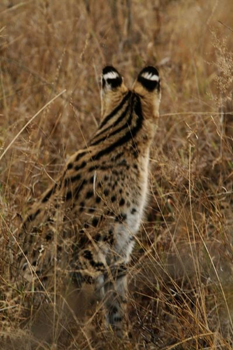 Notice the white bands on the back of the serval's ears.
