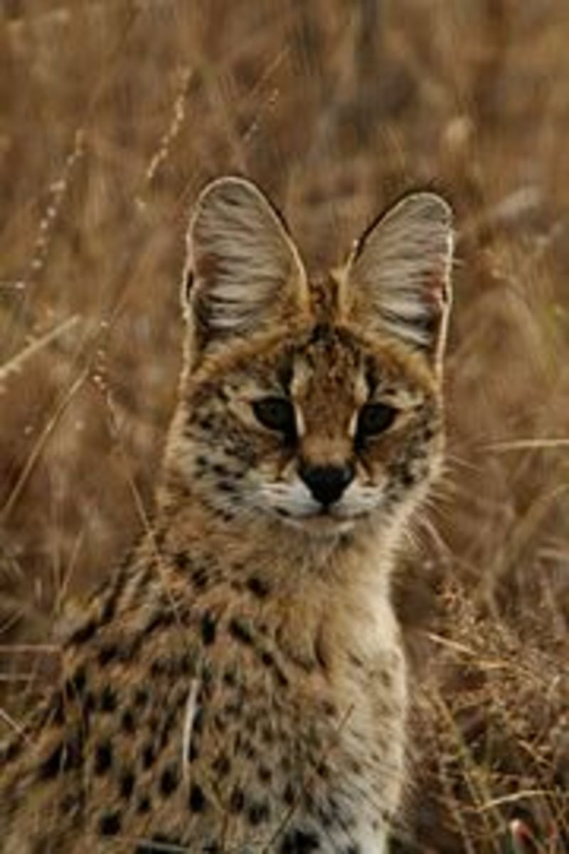The serval has an elongated neck and disc like ears.