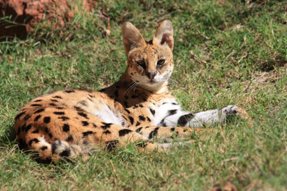 The Serval Cat - An African Wildcat
